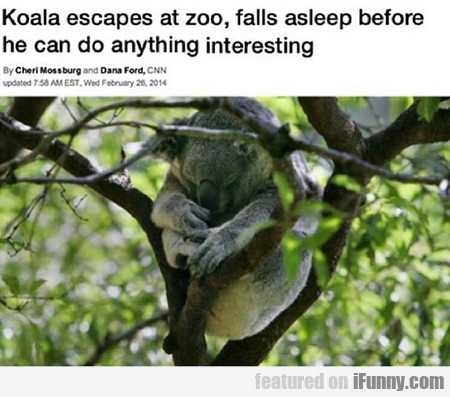 Koala Escapes At Zoo, Falls Asleep