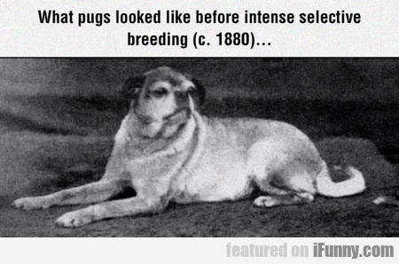 What Pugs Looked Like Before Selective Breeding