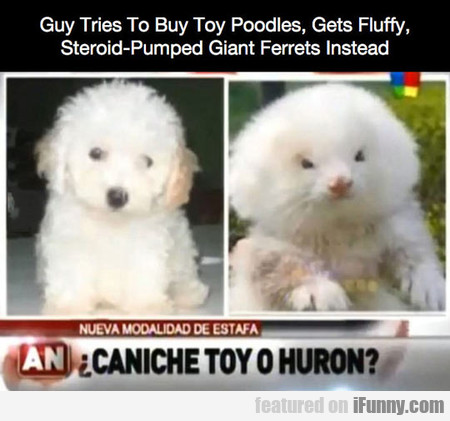 Guy Tries To Buy Toy Poodles