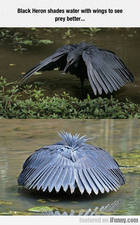 Black Heron Shades Water With Wings To See