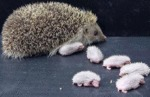 I've Never Seen Hedgehog Babies Before