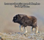 Here Is A Baby Bison, In Cas You Haven't Seen One