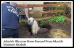 Adorable Miniature Horse Rescued From...