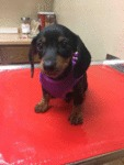 Little Sausage Dog's First Trip To The Vet