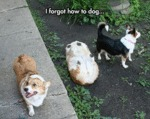 This Corgi Has Problems