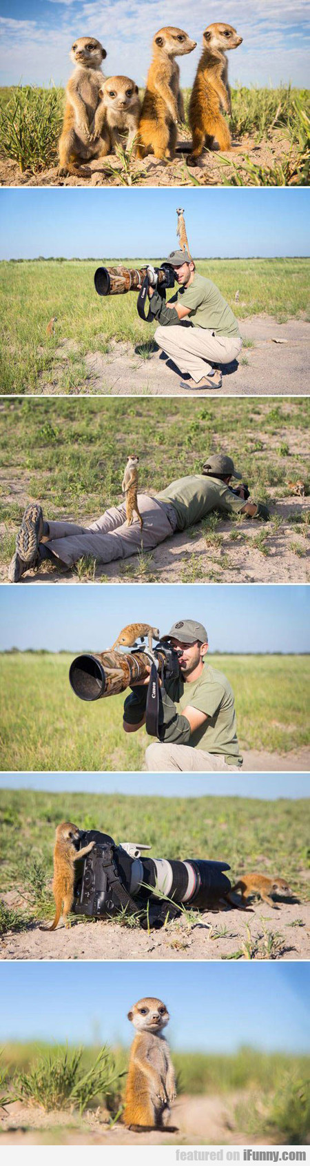 Meerkats Playing With Photographer In Botswana