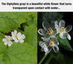 The Diphylleia Grayi Is A Beautiful White Flower