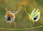 Yaying Mantises
