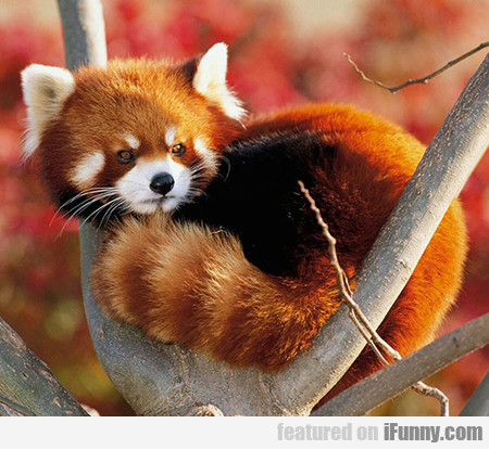 The Beautiful Red Panda