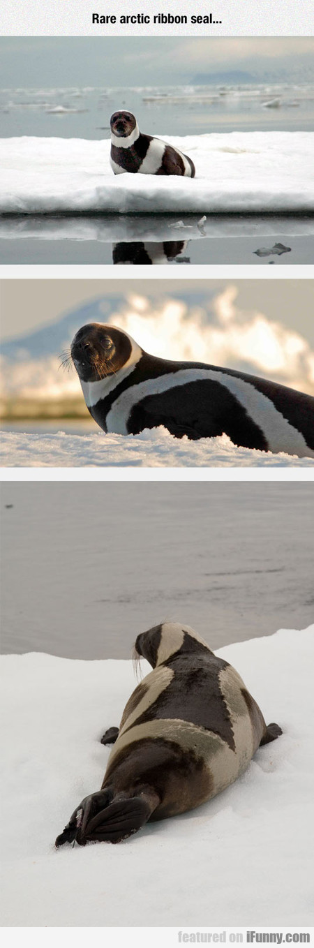Rare Arctic Ribbon Seal...