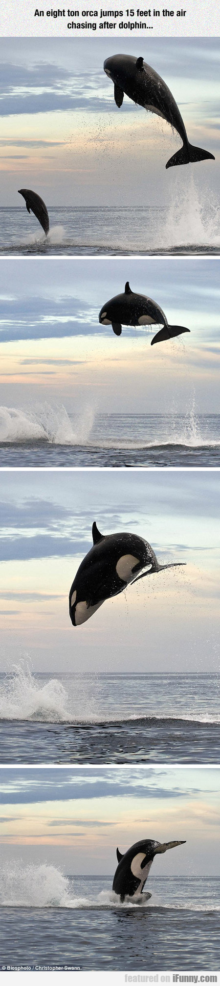An Eight Ton Orca Jumps 15 Feet In The Air