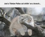 Just A Tibetan Pallas Cat Chillin1 On A Branch...