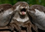 Baby Otter Kissing