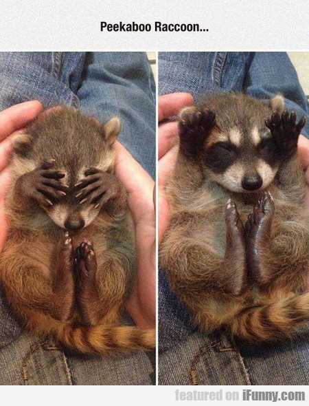 Peekaboo Raccoon...