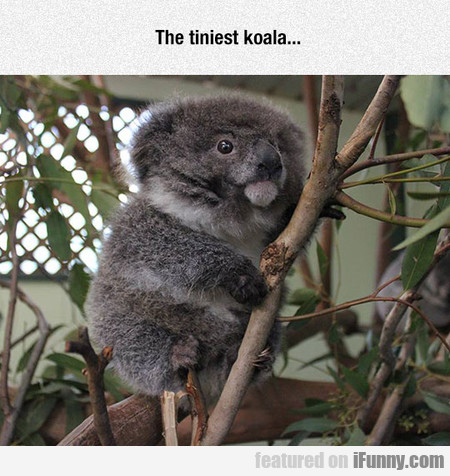 The Tiniest And Fluffiest Koala...