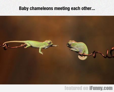 Baby Chameleons Meeting Each Other...