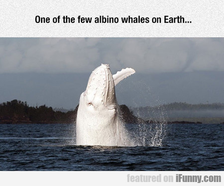 Migaloo, An Epic Albino Humpback
