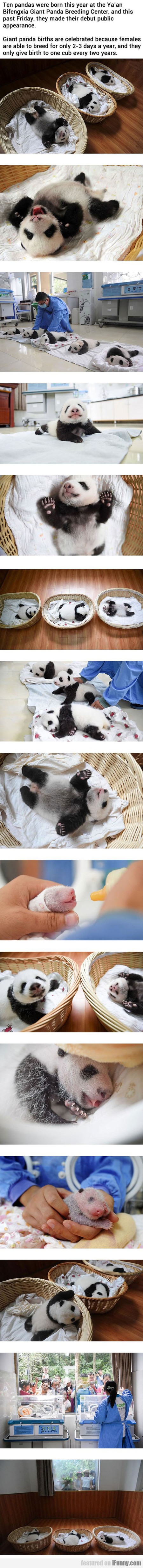 Meanwhile At The Chinese Panda Breeding Center