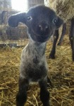 Having A Bad Day? Well, Here's A Smiling Lamb