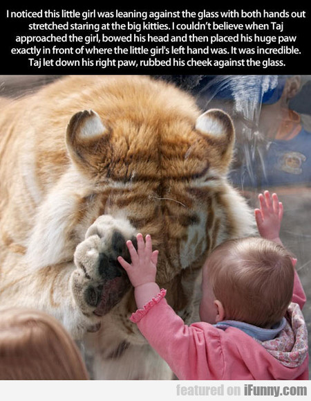 Tiger Makes Adorable Connection With Tiny Human