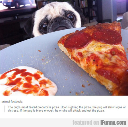 The Pug's Most Feared Predator Is Pizza