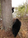 A Little Bear's First Climbing Lesson