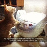 My Japanese Cat Loves To Sit Near My Rice Cooker