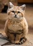 The Sand Cat, He Lives In The Sahara Desert