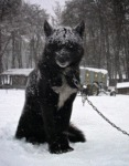 Glorious Black Wolf Hybrid