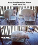I Wish I Could Be As Happy As This Pig