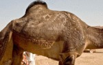 The Camel Who Went To The Barber