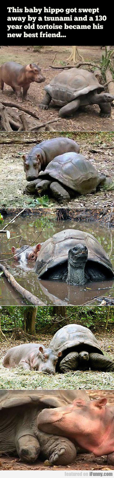 Baby Hippo And 130 Year Old Tortoise Become Friend