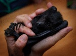 When Adorable Baby Bats Have Nightmares