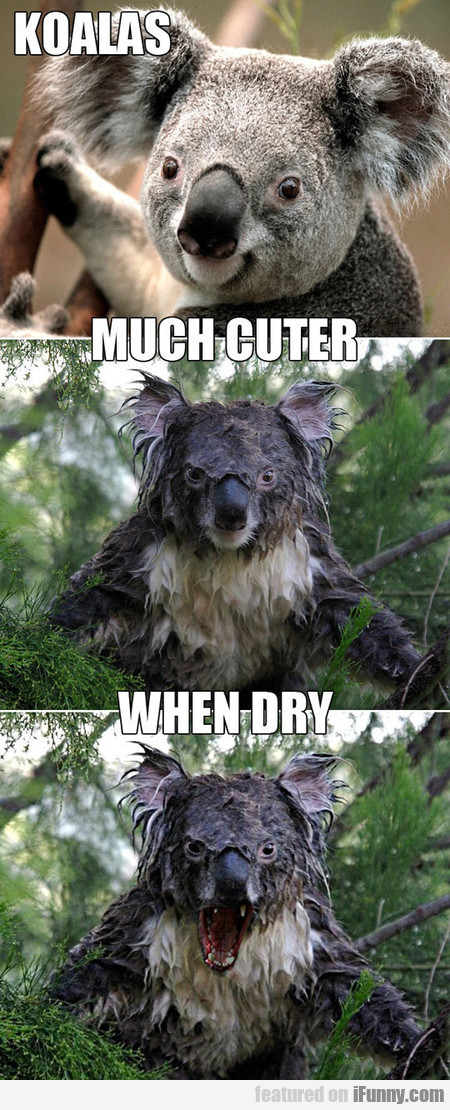Water Can Dramatically Change A Koala