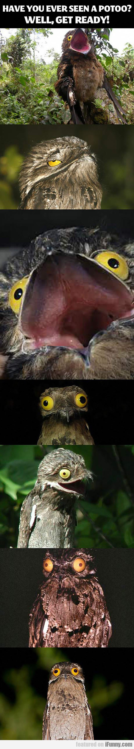 Ever Seen A Potoo