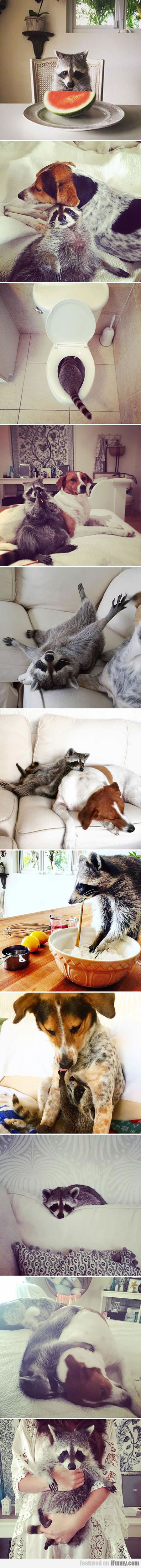 Orphaned Raccoon Rescued By Dogs Thinks He's A Dog