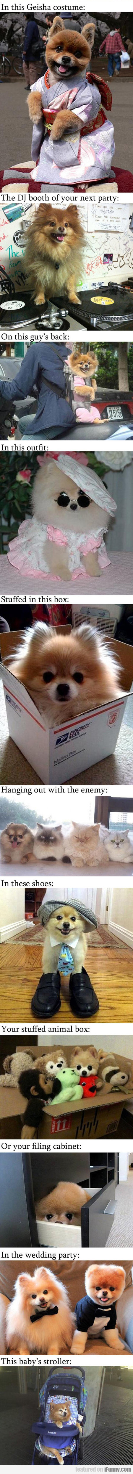 Pomeranians, What Do You Think You Are Doing?