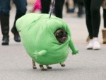 Pug Marching As Slimer In The Spooky Pooch Parade