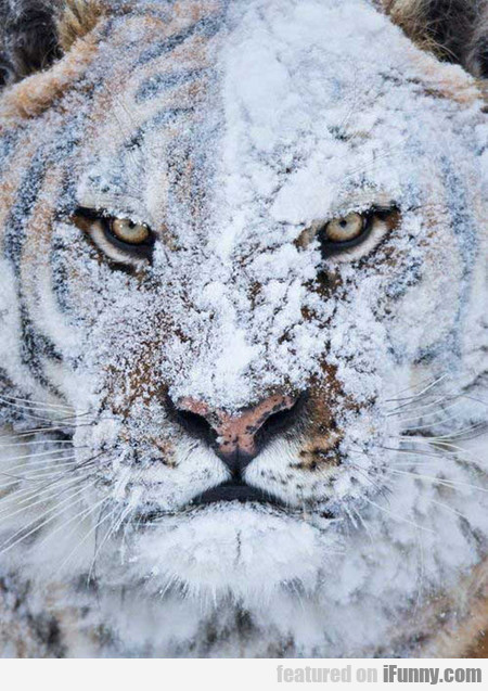 Tiger After Snow Fight