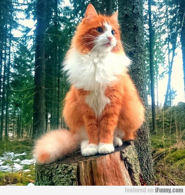 Just A Norwegian Forest Cat