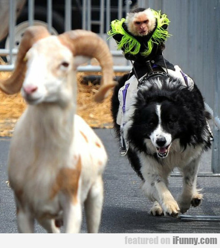 A Photo Of A Monkey Riding A Dog Chasing A Goat