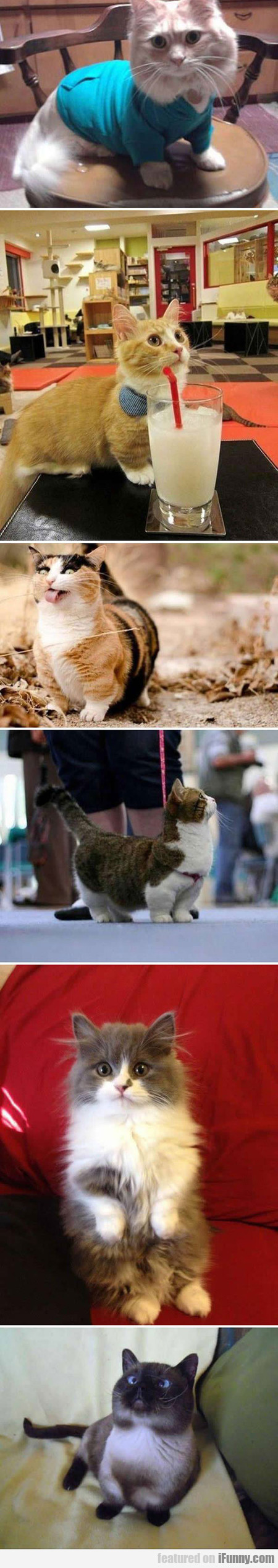Munchkins Are The Corgis Of Cats