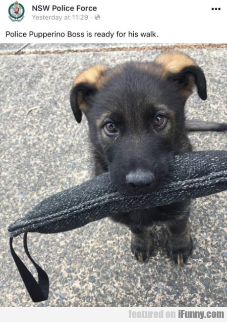 Police Pupperino Boss is ready for his walk