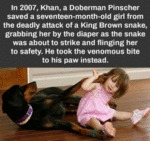 In 2007, Khan, A Doberman Pinscher Saved A...
