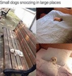 Small Dogs Snoozing In Large Places
