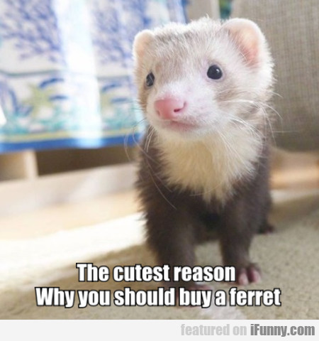 The cutest reason - Why you should buy a ferret