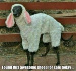 Found This Awesome Sheep For Sale Today...