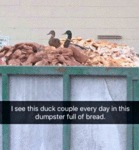 I See This Duck Couple Every Day In This Dumpster