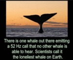 There Is One Whale Out There Emitting A 52 Hz...