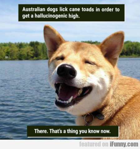 Australian dogs lick cane toads in orders to get..